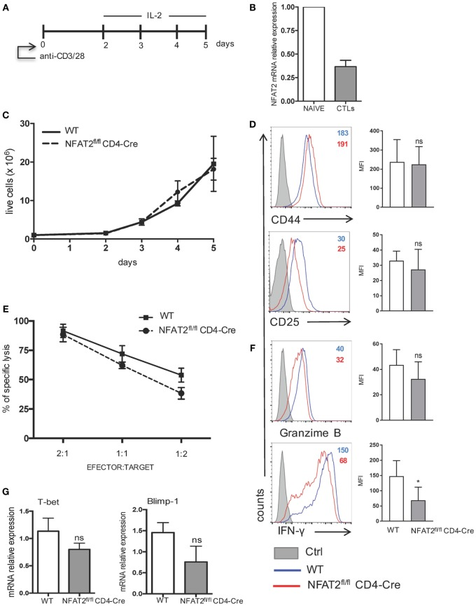 IFN-γ production by cytotoxic CD8 + T cells is regulated by NFAT2 . (A) Schematic representation of cytotoxic CD8 + T cell differentiation in vitro . Purified CD8 + T cells from WT and NFAT2 fl/fl CD4-Cre mice were differentiated in vitro into cytotoxic CD8 + T lymphocytes as described. (B) Total RNA isolated from naive CD8 + T cells (NAIVE) or from in vitro differentiated cytotoxic CD8+ T lymphocytes (CTLs) were analyzed for NFAT2 mRNA levels by real-time RT-PCR assay using SYBR green master mix. The data are normalized to the β-actin levels. (C) Total number of live WT and NFAT2-deficient CD8 + T lymphocytes was recorded daily during in vitro differentiation using Trypan blue exclusion method. (D) Flow cytometric analysis of CD44 and CD25 expression on differentiated cytotoxic WT and NFAT2-deficient CD8 + T cells at day 5. The analysis of MFI from three independent experiments on the right. (E) At day 5, differentiated cytotoxic CD8 + T cells were tested in cytotoxicity assay against P815 cells as described at indicated efector:target ratios or restimulated with PMA plus ionomycin for 6 h, and intracellular granzime B and IFN-γ production was analyzed by flow cytometry. The analysis of MFI from three independent experiments on the right (F) . (G) Total RNA was isolated from differentiated in vitro WT and NFAT2-deficient cytotoxic CD8 + T lymphocytes, and T-bet and Blimp-1 mRNA levels were analyzed by real-time RT-PCR assay using Taqman probes. The data are normalized to the HPRT RNA levels. All data are shown as mean ± SD of three independent experiments. The ns indicates not significant and *indicates p