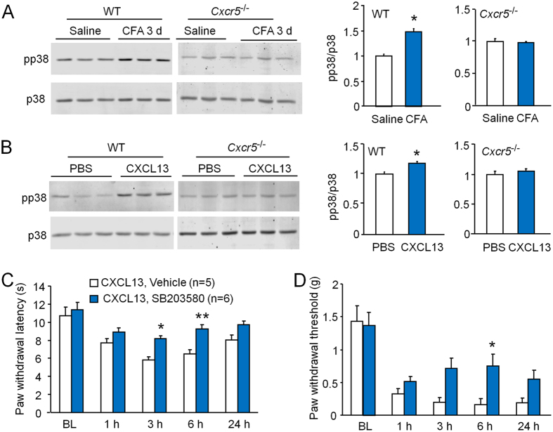 p38 is involved in CXCL13-induced pain hypersensitivity. ( A ) Western blot shows that <t>pp38</t> expression in the DRG was increased 3 days after CFA in WT mice, but not in Cxcr5 KO mice. *P