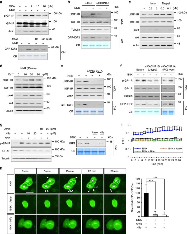 NNK-mediated increase in intracellular Ca 2+ is important for IGF2 secretion and IGF-1R activation. ( a ) BEAS-2B/GFP-IGF2 cells were stimulated with NNK for 15 min after pretreatment with the mecamylamine (MCA) for 3 h. IGF-1R phosphorylation in WCL or IGF2 secretion in the CM were determined by western blot (WB) analysis. ( b , f ) BEAS-2B/GFP-IGF2 cells were transfected with indicated siRNA, and then stimulated with NNK for 15 min. IGF-1R phosphorylation in WCL or IGF2 secretion in the CM were subjected to WB analysis. ( c , d ) HBEL/p53i cells were treated with ionomycin (Iono) or thapsigargin (Thapsi) for 15 min ( c ) or incubated with indicated concentration of Ca 2+ and NNK for 15 min ( d ). Activation of IGF-1R or Akt was determined by WB analysis. ( e , g ) HBEL/p53i or BEAS-2B/GFP-IGF2 cells were stimulated with NNK for 15 min after pretreatment with the indicated inhibitors for 3 h. IGF-1R phosphorylation in WCL or IGF2 secretion in CM were subjected to WB analysis. BAP: BAPTA-AM; Amlo: amlodipine; Nife: nifedipine. ( h ) Time-lapse imaging analysis for GFP-IGF2 secretion from BEAS-2B/GFP-IGF2 cells. Cells were pretreated with amlodipine (Amlo) or nifedipine (Nife) for 3 h and further stimulated with NNK. White arrows indicate secreted GFP-IGF2. Right: secreted GFP-IGF2 out of 25 BEAS-2B cells stimulated with NNK in the presence or absence of indicated inhibitors at 30 min after NNK treatment was quantified using Harmony high content imaging and analysis software. Data are presented as the mean±s.d. *** P