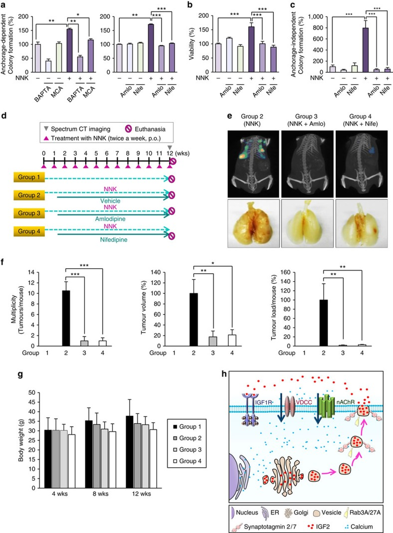 Suppression of NNK-induced acquisition of transformed phenotypes in vitro and lung tumour formation in vivo by blockade of Ca 2+ influx. ( a – c ) Anchorage-dependent colony formation ( n =3, mean±s.d.) ( a ), cell viability ( n =3, mean±s.d.) ( b ), and anchorage-independent colony formation ( n =4, mean±s.d.) ( c ) of BEAS-2B cells treated with NNK in combination with BAPTA-AM (BAP), mecamylamine (MCA), nifedipine (Nife), or amlodipine (Amlo). * P
