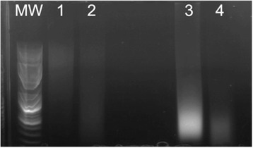Agarose gel electrophoresis of DNA isolated from cadaver tissues. MW = GeneRuler 1 kb Plus DNA Ladder (Thermo Fisher Scientific). Lane 1: Heart DNA extracted with DNeasy Blood Tissue Kit. Lane 2: Liver DNA extracted with DNeasy Blood Tissue Kit. Lane 3: Heart DNA extracted with FFPE kit. Lane 4: Liver DNA extracted with FFPE kit