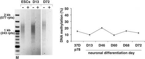 "Unmethylated FM alleles do not become silenced on differentiation into neurons. The repeat size, methylation status, and FMR1 mRNA levels of the indicated cultures were monitored as described in the "" Methods "" section. The ""+"" and ""−"" signs indicate the presence or absence of predigestion by the methylation-sensitive restriction enzyme, HpaII. M, 100-bp DNA size ladder and rpts, CGG repeats. A late passage culture of 37D ESCs containing little, if any methylated alleles, was differentiated into neurons as described in the "" Methods "" section. Methylation levels were measured by qMS-PCR on the indicated number of days after the initiation of neuronal differentiation. See Additional file 3 : Figure S3 for representative images during neuronal differentiation of 37D cells"