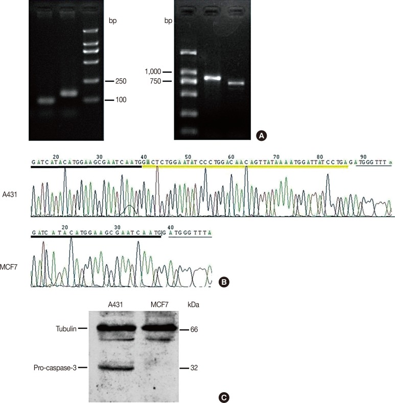 Deletion of partial CASP-3 genomic DNA in MCF-7 cells. (A) Images of DNA electrophoresis of the polymerase chain reaction (PCR) products for the CASP-3 genomic DNA and cDNA, respectively. Both PCR products from MCF-7 cells are shorter than those from A431 cells, resulting from a 47-base pair deletion within exon 4 of the human CASP-3 genomic DNA. (B) Sequencing results of the PCR products from the two cell lines. The yellow underline indicates the sequence of the deleted fragment. (C) Results of Western blotting analysis show expression of pro-caspase-3 protein in A431 cells but not in MCF-7 cells. Tubulin was used as loading control.