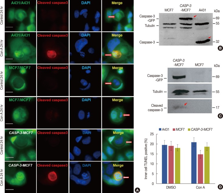 Entosis converting to apoptosis in the presence of caspase-3. (A) Immunofluorescence of cleaved caspase-3 activity in A431 cells, caspase-3 expressing MCF-7 cells and MCF-7 cells with or without concanamycin A (con A) treatment. The three kinds of cells showed typical lysosomal cell-in-cell death before treatment. After treatment we could see clear caspase-3 activation, nuclear shrinkage, nuclear pyknosis and other apoptotic forms in A431 and caspase-3 expressing MCF-7 cells. In contrast, no caspase-3 activity or other apoptosis characteristics was detected in MCF-7 cells after the same treatment. These pictures were taken after 24 hours of cell incubation. The scale bars are 10 µm. Arrows point to entosis cells. (B) Result of Western blot showed fusion protein caspase-3-green fluorescent protein (GFP) (arrows marked) expressed in caspase-3 expressing MCF-7 cells which was about 69 kDa. (C) Result of Western blotting showed caspase-3-GFP (69 kDa) and cleaved caspase-3 (17 kDa, arrow marked) were detected in caspase-3 expressing MCF-7 cells but not in MCF-7 cells. Both of the cells were treated with staurosporine for 16 hours. (D) Statistical analysis of cell-in-cell death of A431 cells, caspase-3 expressing MCF-7 cells and MCF-7 cells with or without Concanamycin A treatment for 48 hours determined by terminal-deoxynucleotidyl transferase mediated nick end labeling (TUNEL) assay. Data are presented as means±SD.