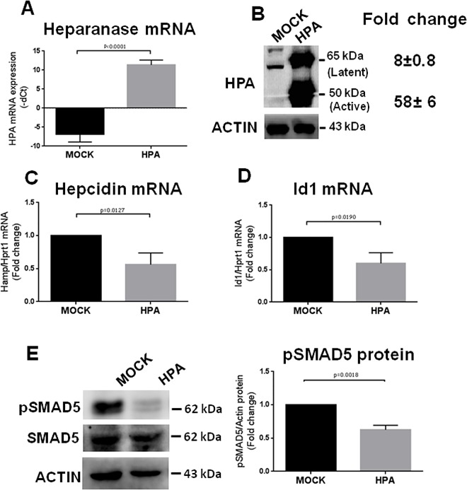 HepG2 cells transiently transfected with heparanase showed a reduction of hepcidin mRNA. HepG2 cells were transfected with pcDNA3.1-HPA plasmid (HPA) or empty pcDNA3.1 as control (MOCK) and harvested 48 h after the transfection. (A) Relative level of HPA mRNA was measured by qRT-PCR (B) Western blot of SDS-PAGE with anti-HPA antibodies show the levels of its latent (65 kDa) and active (50 kDa) form. Densitometry quantification of the two protein forms was performed in relation to Actin. (C) The level of hepcidin mRNA and (D) Id1 mRNA was analyzed by qPCR and normalized for Hprt1. (E) The phosphorylated (pSMAD5) and total SMAD5 were analyzed by western blot and pSMAD5 densitometry was normalized to actin. In (A) the values are expressed as–dCt for HPA mRNA, in C and D as fold change over the control (MOCK) for hepcidin and Id1 mRNA., respectively