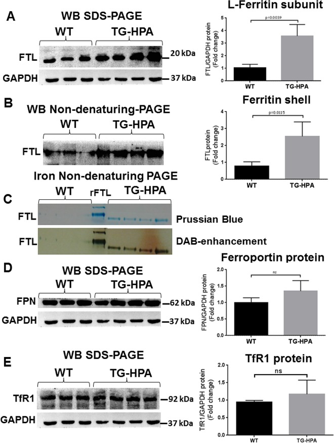 Transgenic mice overexpressing heparanase have increased ferritin-iron and ferritin protein content in the liver. (A and B) Western blot of liver extracts from WT and TG-HPA mice (A) for ferritin L-chain (FTL) subunits in <t>SDS-PAGE</t> with GAPDH as calibrator and (B) for assembled ferritin in non-denaturing PAGE. (C) Prussian blue stain of non-denaturing PAGE loaded with 50 ug protein, before (upper) and after enhancing with DAB and H 2 O 2 (lower). rFTL is control purified recombinant mouse FTL. (D) Western blot of Ferroportin (FPN) and (E) of Transferrin Receptor1 (TfR1) and their respective GAPDH as calibrator. Densitometry data were obtained from 3 independent experiments.