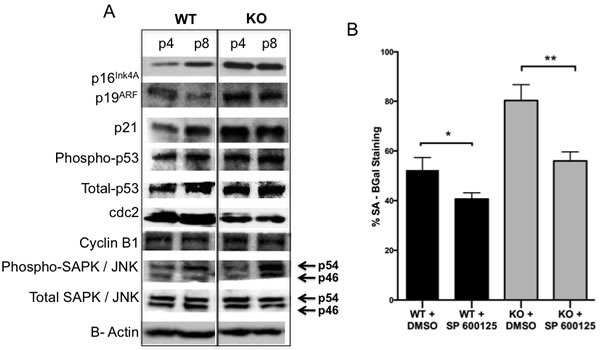 Signaling events involved in Gadd45b Senescence A. Western blotting analysis of p16 Ink4A , p19 ARF , p21, Phospho-p53 (Ser15), Total-p53, cdc2, Cyclin B1, Phospho-SAPK/JNK (Thr183/Tyr185) and Total-SAPK/JNK expression in cell extracts prepared from Gadd45b +/+ (WT) and Gadd45b −/− (KO) MEFs at different passages cultured at 21% oxygen. β-Actin was used as a loading control. B. Gadd45b +/+ (black) and Gadd45b −/− (grey) MEFs cultured at 21% oxygen (passage 6) were treated with vehicle (0.1% DMSO) or J NK inhibitor , SP600125 for 24 hours and stained for SA-β-gal 5 days later. SA-β-gal positive cells were counted in at least 10 fields from triplicate plates. A quantification of SA-β-gal positive MEFs is shown. * P