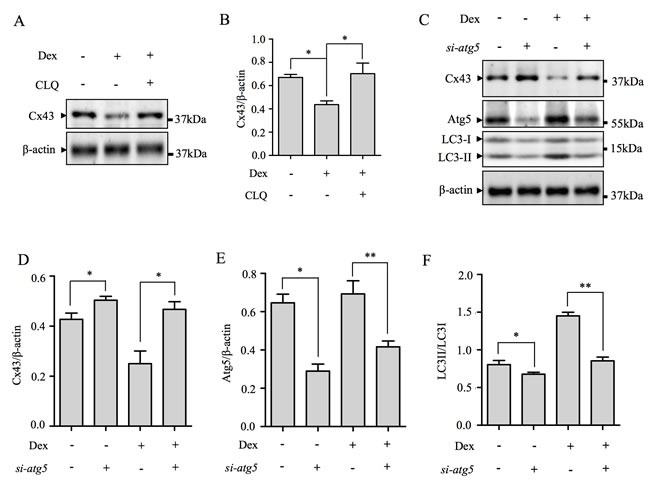 Cx43 is degraded by autophagy following Dex treatment ( A ) Inhibition of lysosome activity by CLQ blocked Dex-induced Cx43 degradation. Total cellular proteins (TCPs) from MLO-Y4 cells co-stimulated with 10 −6 M Dex and 50μM CLQ for 24hrs were immunoblotted with antibody against Cx43. β-actin served as loading and normalization control. ( B ) The protein levels of Cx43 were quantified and expressed as a ratio against β-actin. ( C ) Attenuation of autophagy by Atg5 silencing blocks Dex-induced Cx43 degradation. TCPs form Atg5 siRNA transfected MLO-Y4 cells with/without Dex treatment for 24hrs were immunoblotted with antibodies against Cx43, Atg5 and LC3-I/II. β-actin served as loading and normalization control. The protein levels Cx43 ( D ) and Atg5 ( E ), were quantified and expressed as a ratio against β-actin. ( F ) The protein levels of lipidated LC3-II were expressed as a ratio against LC3-I. All data presented are representative of at least three independent experiments. *p