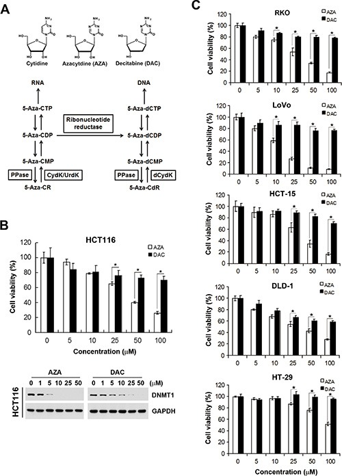 Different effects of azacytidine (AZA) and decitabine (DAC) on the cell viability of human colorectal cancer cells ( A ) Chemical structures of cytidine, AZA, and DAC, and the metabolic pathways of AZA (5-Aza-CR) and DAC (5-Aza-CdR). MP, DP, and TP, mono-, di-, and triphosphate, respectively; PPase, phosphatase; UrdK/CydK, uridine/cytidine kinase; dCydk, deoxycytidine kinase. ( B ) HCT116 cells were treated with different doses of AZA or DAC for 24 and 72 h. The cell viability at 72 h was analyzed by an MTT assay (upper part). Whole-cell lysates at 24 h were subjected to a Western blot analysis using antibodies against DNMT1 or GAPDH (lower part). ( C ) RKO, LoVo, HCT-15, DLD-1, and HT-29 cells were treated with different doses of AZA or DAC for 72 h, and the cell viability was analyzed by an MTT assay.