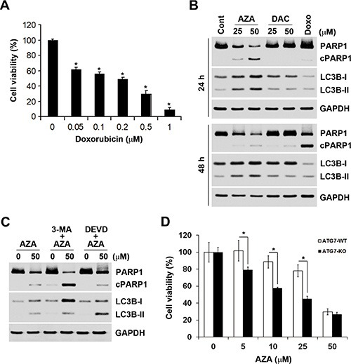 The relationship between apoptosis and autophagy induced by azacytidine (AZA) ( A ) HCT116 cells were treated with different doses of doxorubicin for 72 h, and the cell viability was analyzed by an MTT assay. ( B ) HCT116 cells were treated with different doses of AZA or decitabine (DAC), or 0.5 μM doxorubicin for 24 and 48 h, and whole-cell lysates were subjected to a Western blot analysis using antibodies against PARP1, LC3B, or GAPDH. ( C ) HCT116 cells were pretreated with 5 mM 3-MA or 50 μM Z-DEVD-FMK for 1 h and then exposed to 50 μM AZA for 24 h. Whole-cell lysates were subjected to a Western blot analysis using antibodies against PARP1, LC3B, or GAPDH. ( D ) ATG7-WT and ATG7-KO DLD-1 cells were treated with different doses of AZA for 72 h, and cell viability was analyzed by an MTT assay.