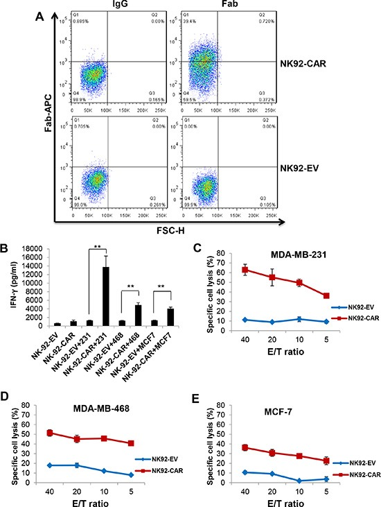 EGFR-CAR NK-92 cells recognize and lyse EGFR positive cells of breast cancer cell lines ( A ) Expression of EGFR scFv on EGFR-CAR-transduced NK-92 cells, determined by flow cytometry using a goat anti-mouse F(ab′) 2 polyclonal antibody. ( B ) IFN-γ release by empty vector (EV)-transduced or EGFR-CAR-transduced NK-92 cells in the absence or presence of MDA-MB-231, MDA-MB-468 or MCF-7 cells using a standard ELISA assay. ** P
