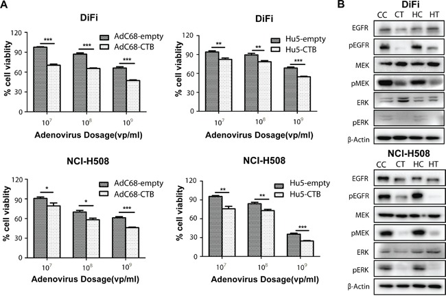 AdC68-CTB and Hu5-CTB inhibits cell proliferation by reduced activation of EGFR, ERK and MEK A. NCI-H508 and DiFi cells were grown to a density of 1 × 10 4 cells/well in 96-well microtiter plates and treated with indicated adenoviruses in doses varying from 10 7 to 10 9 vp. After 72 h, an MTT assay was performed to quantify cell viability. Values are expressed as mean ± SEM. Statistical analysis was performed by Student's t test (* p