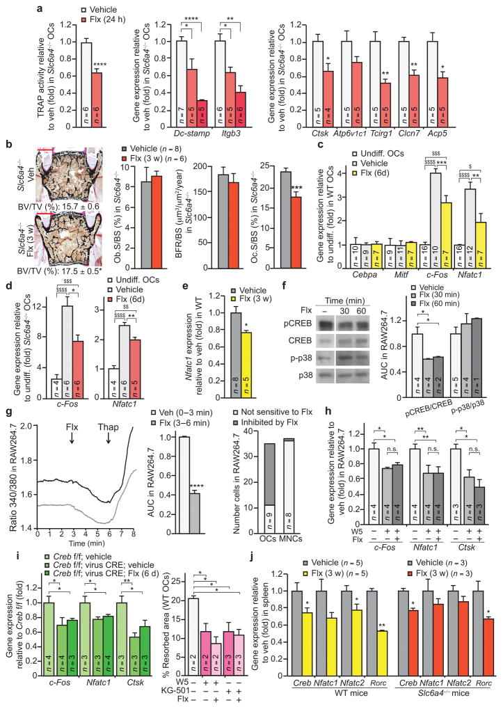 Flx affects osteoclastogenesis in a 5HTT-independent manner ( a ) Quantification of TRAP activity (left) and gene expression in primary osteoclast cultures (OCs) derived from 5HTT-deficient ( Slc6a4 −/− ) mice. Ctsk, Cathepsin K. Clcn7, Chloride channel 7. Acp5 encodes TRAP. ( b ) Representative images ( n = 4 images/mouse) of vertebrae (left) from Slc6a4 −/− females treated for 3 w (veh n = 8, Flx n = 6). Quantification of BV/TV is indicated below each image. Scale bars, 200 μm. Bone histomorphometry of these mice is also indicated (middle and right). ( c , d ) Gene expression in WT OCs ( c ) and Slc6a4 −/− OCs ( d ). Mitf encodes microphthalmia-associated transcription factor; Undiff., undifferentiated OCs. ( e ) Expression of Nfatc1 in long bones of WT females treated for 3 w. ( f ) Western blot (left) and quantification of band intensities reported to veh (right) of indicated proteins in RAW264.7 osteoclasts treated with Flx or veh ( n = 1 technical replicate of the number of biological replicates indicated in the bar graph (left)). ( g ) Representative curves ( n = 13) of Fura-2 ratio (340/380) in individual RAW264.7 osteoclasts recorded in veh medium and after addition of Flx (left), Fura-2 ratio levels after Flx addition relative to veh (AUC, area under the curve ( n = 13) (middle), and proportion of OCs and MNCs responding to Flx (right). Thap, Thapsigargin. ( h ) Gene expression in RAW264.7 osteoclasts treated for 24 h. ( i ) Gene expression in Creb fl/fl:virus-CRE OCs treated for 6 days (6 d) (left), and the percentage of resorbed area in a pit resorption assay of WT OCs treated for 24 h with W5, KG-501 and Flx (right). ( j ) Gene expression in spleen of WT or Slc6a4 −/− females treated for 3 weeks. Rorc encodes RORγt. Values are mean ± SEM compared to veh (*) or undiff. OCs ( $ ) */ $ P ≤ 0.05, ** P ≤ 0.01, ***/ $$$ P ≤ 0.001, ****/ $$$$ P ≤ 0.0001. One-way ANOVA followed by Dunnet's test ( a , i ), one-way ANOVA followed by Turkey's ( c , d , h ) or Stud