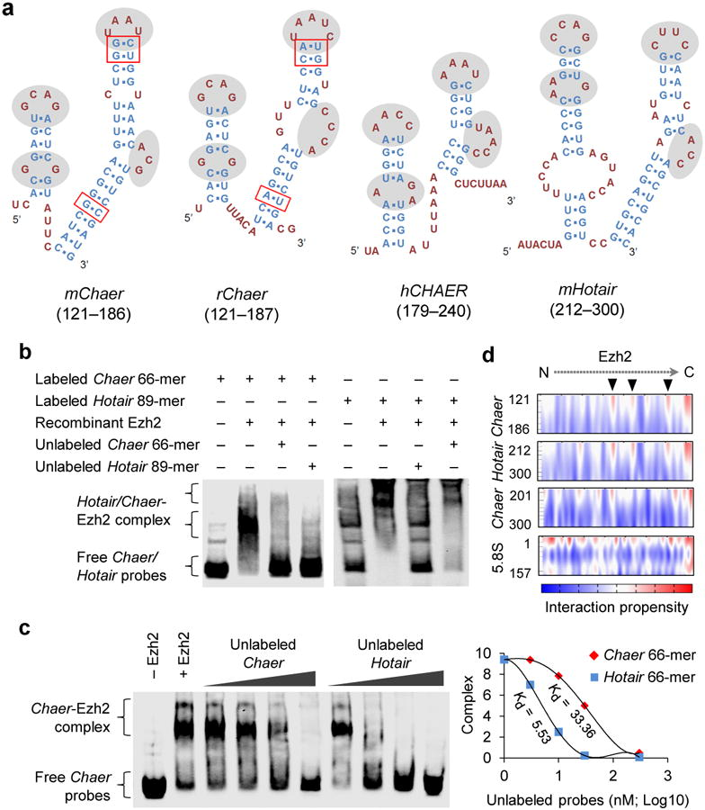 Characterization of Chaer motif for PRC2 interaction ( a ) Predicted secondary structures of a 66-mer motif in mouse mChaer , a 67-mer motif in rat rChaer , a 62-mer motif in human hCHAER and an 89-mer motif in mouse mHotair . The unpaired loops with similar pattern were highlighted by gray background, and the paired single nucleotide variations in stems between mouse and rat Chaer were highlighted with red boxes. ( b ) Validation of the direct binding between the 66-mer mChaer motif and recombinant Ezh2 by RNA electrophoretic mobility shift assay (EMSA). ( c ) RNA EMSA using labeled Chaer and unlabeled Chaer or Hotair (left). Dissociation constants were calculated by the concentration of unlabeled Chaer or Hotair causing 50% dissociation of the Ezh2- Chaer complex (right). ( d ) Interaction propensity for Ezh2 binding with Chaer 66-mer motif, Hotair 89-mer motif, Chaer 201-300-nt fragment and 5.8 S rRNA predicted by CatRAPID. Arrowheads highlights the predicted RNA-binding sites of Ezh2.