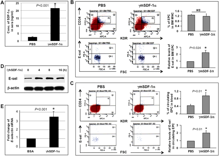 """SDF-1α induces E-selectin expression in EPC. ( A ) Levels of mSDF-1α in sera 4 h after wound bed injection of γmSDF-1α vs. PBS (n = 8 mice/group). ( B ) Measurement of levels of E-selectin in BM EPC by flow cytometry. BMC were incubated with Abs against CD34, KDR, and E-selectin or isotype-matched control Abs. EPC (CD34 + /KDR + ) were gated (P2), counted, and analyzed for levels of E-selectin (Q2-1). Bar graphs show % of EPC in BM mononuclear cells and relative levels of E-selectin in BM-EPC. Levels of E-selectin in EPC from mice injected with PBS were established as """"1"""" and relative levels of E-selectin in EPC from mice injected with γmSDF-1α were normalized accordingly (n = 8 mice/group). ( C ) Measurement of % of EPC in peripheral blood MNC and relative levels of E-selectin in circulating EPC as described in ( B ) (n = 8 mice/group). ( D ) Immunoblotting analysis of E-selectin expression upon γhSDF-1α (100 ng/ml) stimulation in human EPC at various time points. β-actin served as a loading control. ( E ) Human EPC were stimulated with γhSDF-1α or BSA for 4 h, and total RNA was extracted. Expression of extracellular matrix and adhesion molecules were analyzed using RT2-PCRArray . Expression of E-selectin was upregulated upon γmSDF-1α stimulation. Levels of mRNA in BSA-treated EPC were established as """"1"""" and compared to those in γmSDF-1α-treated EPC. Experiments were repeated three times in ( D ) and ( E ). Data are analyzed by 2-tailed Student's t -test and presented as mean ± SEM."""