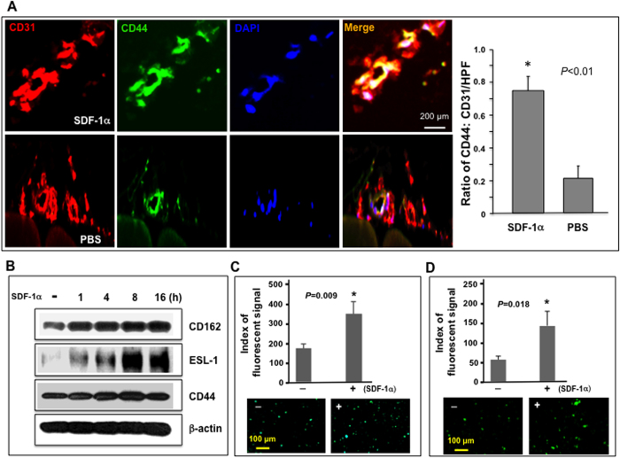 """SDF-1α induces expression of active form of E-selectin ligands in EC. ( A ) Increased expression of E-selectin ligand, CD44, in luminal EC of ischemic hindlimb wounds injected with γmSDF-1α compared to PBS injected non-wounded hindlimb in NOD mice (n = 8 mice/group). ( A ) right : Co-expression (yellow) of CD44 (green) and CD31 (red) in vessels was detected by immunostaining. Representative images are shown (images of isotype-matched non-specific control Ab are not shown). Left : Quantification of CD44 expression in vessels. Data are presented as mean ± SD of ratio of CD44:CD31 signals from 5 random selected sections of high power field (LPF, X 20) of each wound sample. CD31 signal was established as """"1"""" in each section and relative amount of CD44 signal was normalized accordingly. ( B ) Immunoblotting analysis of SDF-1α-induced expression of three E-selectin ligands in HMVEC at various time points <t>(γhSDF-1α:</t> 100 ng/ml). β-actin is used as loading control. Experiments were repeated three times and similar results were obtained. ( C ) Binding of FITC-conjugated HECA452 to HMVEC stimulated with γhSDF-1α or <t>BSA.</t> Fluorescent signals were quantified ( top ). Representative fluorescent images were exhibited ( bottom ). ( D ) Binding of FITC-conjugated HECA452 to human EPC stimulated with γhSDF-1α or BSA (100 ng/ml). Fluorescent signals were quantified ( top ). Representative fluorescent images were exhibited ( bottom ). Data are analyzed by 2-tailed Student's t -test and presented as mean ± SEM of fluorescent signals based on triplicate wells in each condition and totally three independent experiments in ( C , D )."""