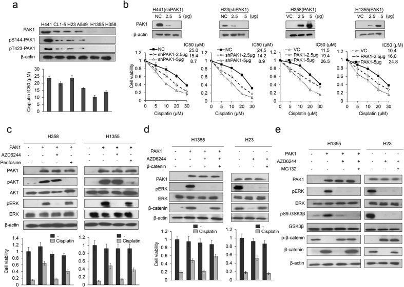 MEK/ERK signaling plays a more important role thanPI3K/AKT signaling in mediating PAK1-mediated cisplatin resistance. ( a ) Six lung cancer cell types were treated with four concentrations of cisplatin and the dose response curves were used to calculate the 50% inhibition concentration (IC50) for cisplatin. The expression of PAK1 and its active forms (pS144-PAK1 and pT423-PAK1) in each lung cancer cell type were examined by western blotting. ( b ) Increasing amounts of PAK1 knockdown plasmid were transfected into high-PAK1 expressing (H441 and H23) cell lines. Alternatively, increasing amounts of expression plasmid were transfected into low PAK1 expressing (H358 and H1355) cell lines. The total amount of transfected DNA was kept constant by adding the control vector. After 48 hr, cell lysates were harvested and evaluated by Western blotting for levels of PAK1 and β-actin protein. β-actin was used as a protein loading control. NC: non-specific shRNA control. VC: Vector control. PAK1-knockdown or PAK1-overexpressing lung cancer cells were treated with four doses of cisplatin and the dose response curves were used to calculate the 50% inhibition concentration (IC50). ( c ) PAK1-overexpressing H358 and H1355 cells were treated for 5 h with inhibitors of PI3K/AKT (10 μM perifosine) and ERK (10 μM AZD6244). The inhibitors were then removed and the cells were treated with 25 μM cisplatin for an additional 48 h. Cell viability was evaluated with the MTT assay. ( d ) H23 and PAK1-overexpressing H1355 cells were transfected with β-catenin overexpression plasmid for 24 h. The cells were then treated with AZD6244 for 5 h, the inhibitor was removed, and the cells were treated with 25 μM cisplatin for an additional 48 h. Cell viability was evaluated with the MTT assay. ( e ) H23 and PAK1-overexpressing H1355 cells were treated with AZD6244 for 5 h, followed by treatment with MG132 for an additional 5 h, and then the cell lysates were evaluated for protein expression by western blotting. All experiments were performed three independent times. The mean values and the standard deviations are indicated as columns with error bars . The samples were derived from the same experiment and gels/blots were processed in parallel. Full-length blots are presented in Supplementary Figures S2 and S3 .