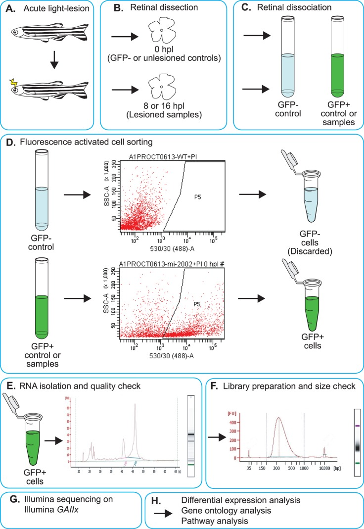 Schematic representation of the Müller glia RNA-seq experimental design. ( A ) Photoreceptors were ablated in free-swimming Tg ( gfap:EGFP ) mi2002 fish using an acute light-lesion paradigm. ( B ) Retinas were dissected from unlesioned controls (0 hpl) and 8 and 16 hpl Tg ( gfap:EGFP ) mi2002 fish. Retinas were also dissected from unlesioned, wild-type (nontransgenic, GFP−) control fish. ( C ) Dissected retinas from each group were pooled and dissociated. ( D ) Dissociated samples were subjected to fluorescence-activated cell sorting (FACS), and GFP+ cells were collected. The FACS plots shown are representative images from the final gating and collection of actual samples. ( E ) RNA was isolated from the sorted cells and checked by Bioanalyzer for quality and concentration. Samples with an RNA integrity number (RIN) above 7.0 were advanced to library preparation. The Bioanalyzer electropherogram shown is a representative plot from an actual sample with a RIN of 8.6. The x -axis is in seconds, which corresponds to size. The y -axis shows fluorescent units (FU), corresponding to the amount of RNA. ( F ) RNA-seq libraries were prepared and checked again via Bioanalyzer. The Bioanalyzer electropherogram shown is a representative plot from a sample library preparation. The x -axis shows the size in base pairs. The y -axis shows fluorescent units, corresponding to the amount of DNA. ( G ) The RNA-seq libraries were then sequenced on an Illumina GAIIx. ( H ) The sequencing data were processed with bioinformatic tools for differential expression analysis, gene ontology analysis, and pathway analysis.