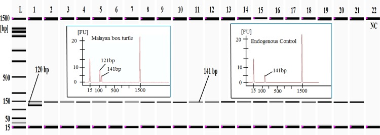 Cross-specificity analysis of Malayan box turtle (MBT)-specific primers against 20 different non-target animal and plant species. Lane L : ladder DNA (15–1500 bp) and lanes 1–21 : PCR products from the MBT target (120 bp) and eukaryotic endogenous control (141 bp). Please note that the Malayan box turtle-specific product was only amplified from the Malayan box turtle ( lane 1), but the endogenous control was obtained from the Malayan box turtle, the pond slider turtle, chicken, lamb, goat, cow, buffalo, deer, pig, duck, pigeon, dog, monkey, cat, rat, salmon, carp, cod, prawn, wheat and cucumber ( lanes 1–21 , respectively). Lane 22 : negative control (NC).