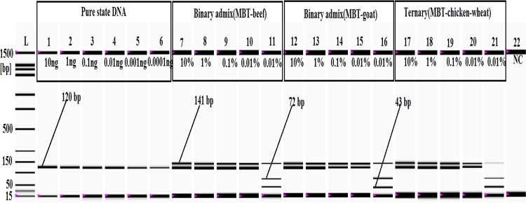 Sensitivity analysis of pure, binary and ternary admixtures. In the gel image, lanes 1–6 : PCR products from 10, 1, 0.1, 0.01, 0.001, and 0.0001 ng MBT DNA, respectively. Lanes 7–10 (MBT and beef) and lanes 12–15 (MBT and goat) represent PCR products from 10%, 1%, 0.1%, and 0.01% MBT-adulterated binary admixtures, respectively. The Bfa1 digestions of the MBT-specific PCR product realized from 0.01% MBT admixed with beef and goat are shown in lanes 11 and 16 , respectively. In the gel image, lanes 17–20 represent PCR products from the ternary mixture (MBT, chicken and wheat flour) containing 10%, 1%, 0.1%, and 0.01% MBT meat, and lane 21 shows the Bfa1 digestion of the MBT-specific PCR products obtained from the ternary admix containing 0.01% MBT. Lane L : ladder DNA, and lane 22 : negative control (NC).