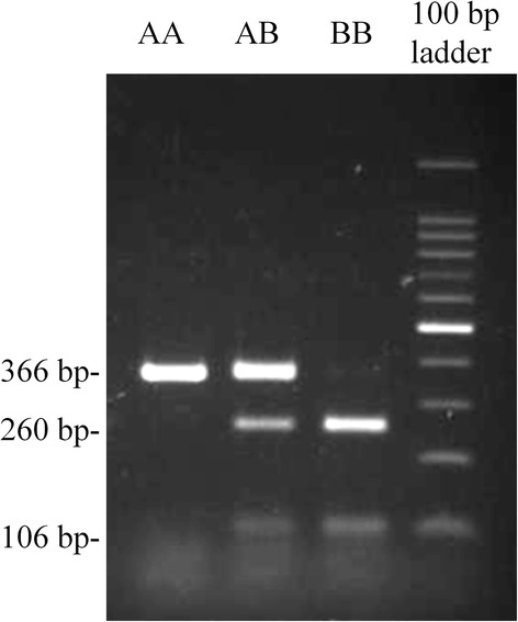 Electrophoretic pattern of PCR-RFLP of genomic DNA. The lanes are AA: <t>CD4.AA;</t> AB: CD4.AB ; BB: CD4.BB; and the 100 bp ladder. The 366 bp-fragment was amplified from genomic DNA using primer pair for exon 3 (See Table 1 ). The PCR product was digested with <t>Bse</t> RI. PCR fragments with genotype of CD4.AA , CD4.AB , and CD4.BB showed single fragment (366 bp), three fragments (366, 260, and 106 bp), and two fragments (260 and 106 bp), respectively