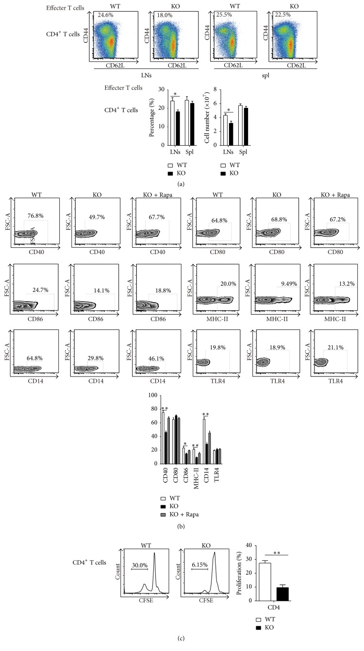 After E. coli infection, the expression of activators in monocytes decreased and the activation of effector T cells declined in TSC1 KO mice. (a) 5 ∗ 10 7 E. coli (ATCC, USA) were injected into each mouse through the tail vein for infection. Eight hours postinfection, the percentage and number of activated effector CD4+ T cells decreased in LNs and spl of TSC1 KO mice compared to WT mice. (b) 5 ∗ 10 7 E. coli (ATCC, USA) were injected into each mouse through the tail vein for infection. Eight hours postinfection, the expression levels of activators, including CD40, CD80, CD86, MHC-II, and CD14 in monocytes, decrease in TSC1 KO mice than WT mice. (c) 2 × 10 5 naïve CD4 + T cells (CD4 + CD44 − CD62 + ) were cocultured with 1 × 10 5 sorted monocytes (CD11b + Ly6G − Ly6C + ) from WT or TSC1 KO mice in DMEM with anti-mouse CD3e (10 μ g/mL, BD Biosciences, USA) and CD28 antibody (10 μ g/mL, BD Biosciences, USA) in 96-well flat-bottomed plates for 6 days. The proliferation of naïve CD4 + T cells cocultured with TSC1 KO monocytes was lower than cells cocultured with the WT group. ∗ P