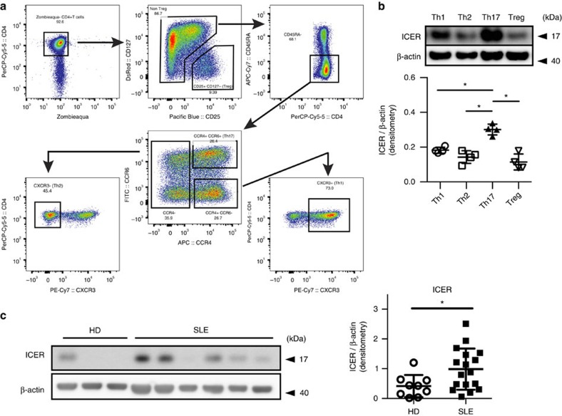 Human Th17 cells and SLE T cells express increased amounts of ICER. ( a ) The gating strategy used to define and sort the primary lymphocytes memory subsets: Th1 (CD4 + CD45RA − CXCR3 + ); Th2 (CD4 + CD45RA − CCR6 − CCR4 + CXCR3 − ); Th17 (CD4 + CD45RA − CCR6 + CCR4 + ); and Treg (CD4 + CD25 + CD127 − ). ( b ) FACS-sorted Th1, Th2, Th17 and Treg cells were stimulated with plate-bound anti-CD3 and anti-CD28 antibodies for 12 h. ICER and β-actin expression was determined by western blot (* P