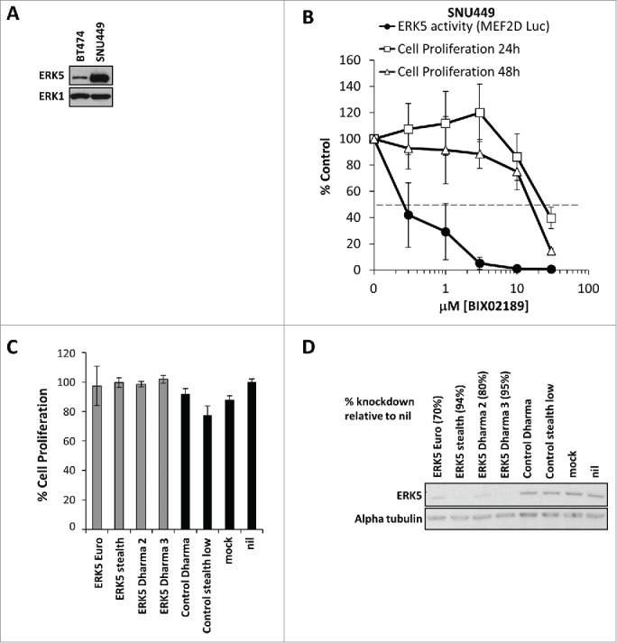 The hetatocellular carcinoma cell line SNU449 expresses high levels of ERK5 but is not dependent on MEK5-ERK5 signaling for proliferation. ( A ) Subconfluent cultures of BT474 and the liver hepatocellular carcinoma cell line SNU449 harbouring an amplification containing the ERK5 gene were maintained in 10% FBS. Cells were lysed, whole cell lysates were separated by SDS-PAGE and immunoblotted with the antibodies indicated. ( B ) Subconfluent cultures of SNU449 cells were maintained in 10% FBS then treated with increasing concentrations of BIX02189 (100 nM to 30 µM) for 24 or 48 hours, and DNA synthesis was assayed by [ 3 H]thymidine incorporation; the results are presented as an average of 3 experiments ± SD. Alternatively, cells were transfected as in Fig. 2 ( C ), 6h post-transfection cell were treated with increasing concentrations of BIX02189 (100 nM to 30 µM) for 24 hours. Cells were then lysed and firefly luciferase activity was measured and normalized to Renilla. A representative experiment of 3 is shown and values are expressed as the mean of triplicate transfections ± SD ( C ) SNU449 cells were transfected with ERK5-specific as indicated or non-silencing (control) <t>siRNA</t> <t>oligos.</t> Mock cells were left untransfected. Seventy-two hours post-transfection, ERK5 and α-tubulin abundances were determined by Western blot analysis of whole-cell extracts. ( D ) SNU449 cells were transfected as in ( C ) cell viability was determined by MTT assay. A representative experiment of 2 is shown and values are expressed as the mean of 8 values ± CoV.