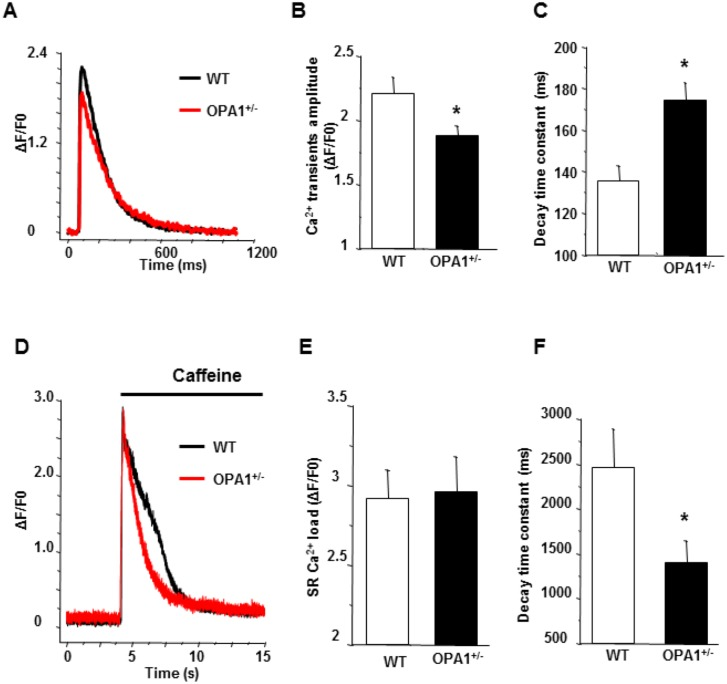 Calcium transients and SR calcium load in Opa1 +/- isolated left-ventricular cardiomyocytes. A : Typical calcium transients recorded under field stimulation at 1Hz in WT (black) and Opa1 +/- (red) isolated left-ventricular cardiomyocytes using fluo-4 calcium dye. B : Mean values of peak calcium transients (WT, n = 32 cells and 4 animals, vs . Opa1 +/- , n = 43 cells and 5 animals; *p