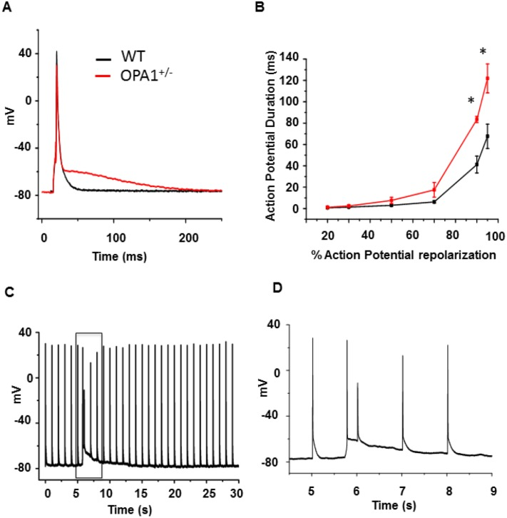 Opa1 +/- left-ventricular cardiomyocyte AP. A : Typical AP recorded using whole-cell patch-clamp technique with current clamp at 1Hz in WT (black) and Opa1 +/- (red) isolated left-ventricular cardiomyocytes. B : Mean values of AP duration at different percentages of AP repolarization (WT: n = 12 cells and 3 animals vs . Opa1 +/- : n = 12 cells and 4 animals; *p