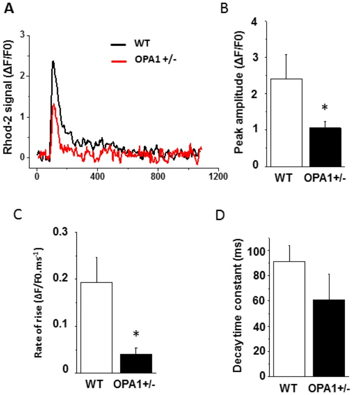 Dynamic mitochondrial Ca 2+ movements during APs recorded using Rhod-2 in conjunction with a whole-cell patch-clamp technique. A : Typical rhod-2 signal during a steady-state AP recorded at 1Hz in WT (black) and Opa1 +/- (red) isolated left-ventricular cardiomyocytes. B : Mean values of peak rhod-2 signal. C : Rate of rise. D : Decay time constant in WT (n = 12 cells and 3 animals) and Opa1 +/- cells (n = 12 cells and 4 animals; *p