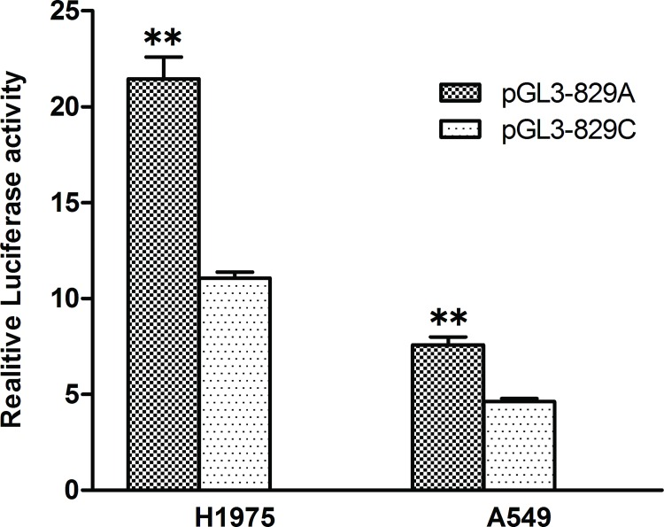 Transcription activity analysis of the CASP3 829 A > C variant in A549 and NCI-H1975 cells. Luciferase activity profiles were assayed following transfection of the constructs into A549 and NCI-H1975. pGL3-829A and pGL3-829C denote caspase-3 promoter constructs containing the 829A or 829C allele, respectively. All of the constructs were cotransfected with pRL-SV40 to standardize the transfection efficiency. Values were means±SD from more than 3 separate experiments that were each performed in triplicate. **P