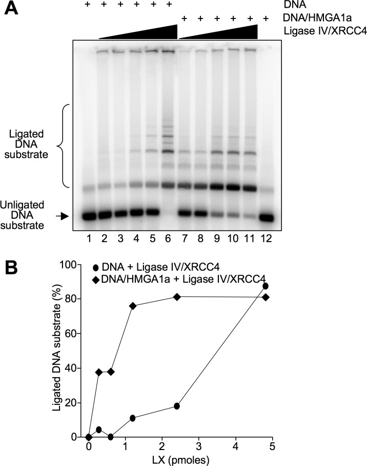 HMGA1a enhances Ligase IV activity. A. DNA ligation was assayed using increasing quantities of DNA Ligase IV/XRCC4 (LX) complex (0, 0.3, 0.6, 1.2, 2.4, and 4.8 pmoles) either incubated with DNA alone (lanes 2–6) or with DNA pre-incubated with HMGA1a (1.2 pmoles, lanes 7–11). The DNA substrate (a double-stranded DNA fragment of 442 bp with 4 bp overhangs) and the ligated DNA multimers of different length were separated in an agarose gel. Lanes 1 and 12 show DNA or DNA/HMGA1a alone as controls, respectively. The figure shows a representative ligation assay. B. Quantification of ligation assay shown in A. The percentage of ligated DNA substrate is plotted as a function of the quantity of DNA Ligase IV/XRCC4 complexes (pmoles).