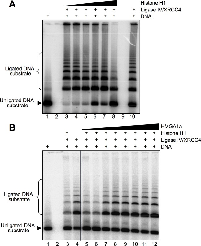 HMGA1a counteracts the repressive role of histone H1 with respect to Ligase IV/XRCC4 activity. A. DNA ligation was assayed using fixed amount of Ligase IV/XRCC4 (1.2 pmoles) and increasing quantities of histone H1 (0.1, 0.2, 0.4, 0.8, 1.2, and 2.4 pmoles, lanes 3–8). The unligated DNA substrate is shown in lane 1 and the activity of Ligase IV/XRCC4 alone is shown in lane 10. B. DNA ligation was assayed using fixed amount of Ligase IV/XRCC4 and histone H1 (1.2 and 2.4 pmoles, respectively) and increasing amounts of HMGA1a (0.2, 0.4, 0.6, 0.8, 1.0, 1.2, 2.4, and 4.8 pmoles, lanes 5–12). The unligated DNA substrate is shown in lane 1, the Ligase IV/XRCC4 activity in the presence of histone H1 (2.4 pmoles) is shown in lane 3, and the Ligase IV/XRCC4 alone is shown in lane 10. The figure shows representative ligation assays.