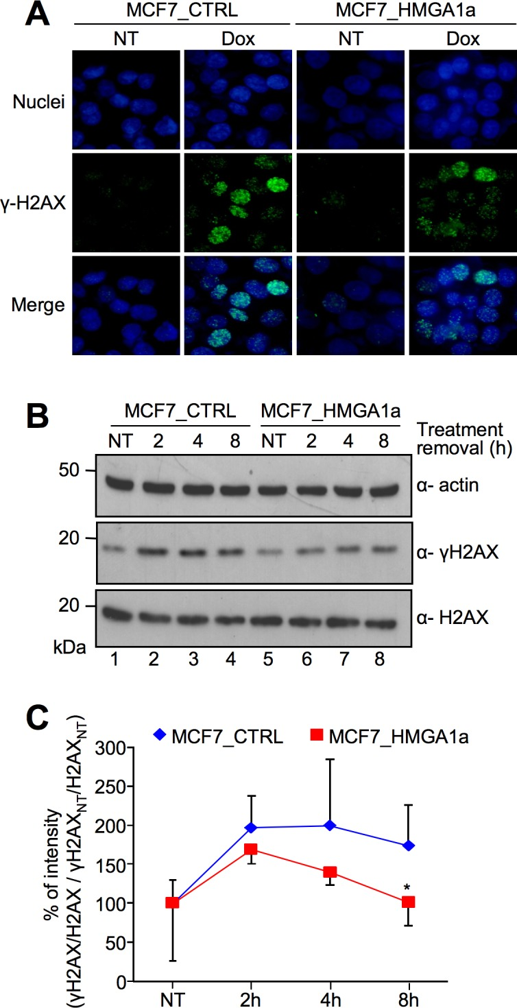 HMGA1a overexpression alters the kinetic of DNA repair in MCF-7 breast cancer cells. A. Immunofluorescence analyses for the visualization of γ-H2AX foci formation in MCF7_CTRL and MCF7_HMGA1a cells exposed to 1 μM doxorubicin (Dox) at 2 hours after treatment removal. Not treated cells (NT) are shown as a control. Nuclei are stained with Hoechst (blue). Images were acquired using a Nikon Eclipse E800 epifluorescence microscope with a 40X objective coupled with a Nikon DXM1200 camera. The mean number of foci/nuclei after doxorubicin tretment is 20.0 and 20.6 for MCF7_CTRL and MCF7_HMGA1a, respectively. Nuclei were manually counted while foci were counted using ImageJ after applying the same threshold for all images, then using the Analyze Particles tool. B. Western blot analyses showing γ-H2AX and H2AX expression levels in MCF7_CTRL and MCF7_HMGA1a cells. Cells were treated with 1 μM doxorubicin for 2 hours and lysates were collected at different time points after treatment removal (not treated—NT and 2, 4, and 8 hours after treatment). Actin was used as an internal normalization. Protein molecular markers (kDa) are shown on the left. C. Graph showing the quantitative evaluation of γ-H2AX induction following the doxorubicin treatment described in B. The reported points are the mean percentage value of four independent experiments ± SD. For each time point, γ-H2AX percentage (%) of intensity (based on densitometric analysis of western blot data) is calculated with the following criteria: (γ-H2AX/H2AX / γ-H2AX NT /H2AX NT ) x 100, P value: *