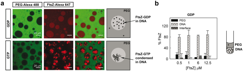 Distribution of FtsZ in the PEG/DNA LLPS system. ( a ) Representative confocal images of FtsZ within the PEG/DNA (3:1) emulsions in the absence and presence of 1 mM GTP. Total FtsZ concentration was 12 (GDP) and 8 μM (GTP). A schematic illustration of the disposition of FtsZ within the phases is depicted on the right. ( b ) Concentration dependence of the distribution of FtsZ-GDP within the mixture as determined by fluorescence together with an illustration on the right. Data are the average of at least 3 independent measurements ± SD.
