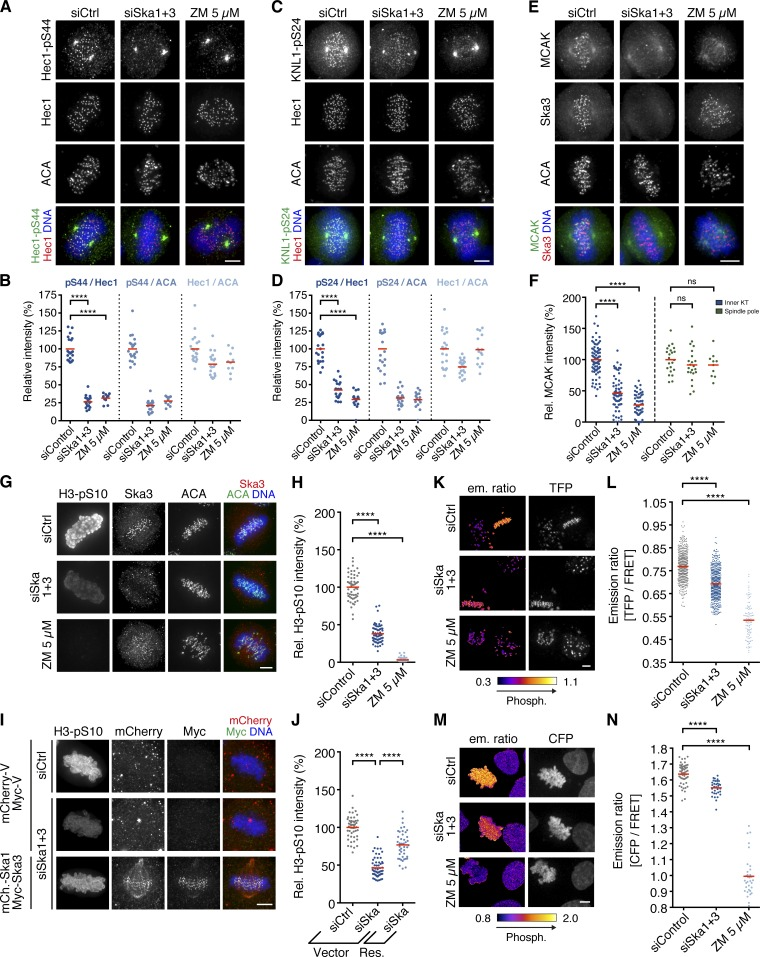 The Ska complex is required for Aurora B activity in cells. Immunofluorescence images (A, C, E, and G) and quantification (B, D, F, and H) of relative Hec1-pS44, KNL1-pS24, MCAK, and histone <t>H3-pS10</t> intensities, respectively, in HeLa S3 cells treated for 48 h with control or Ska1 and Ska3 siRNAs. The Aurora B inhibitor ZM was added to siControl cells 1 h before fixation ( n = 10–20, n = 15–20, n = 10–77, and n = 47–61 cells per condition, respectively, from one to three experiments). (I) HeLa S3 cells were depleted of endogenous Ska1 and Ska3 or treated with control siRNAs, synchronized by a double thymidine arrest/release, and rescued (Res.) by transfection with siRNA-resistant mCherry (mCh.)-Ska1 and Myc-Ska3 or empty mCherry- and Myc-Vectors (Vector), as control, and stained with the indicated antibodies. (J) Relative H3-pS10 intensities in cells treated as in I ( n = 44–59 cells from two experiments). Res., rescue with mCh.-Ska1 and Myc-Ska3. Live-cell images of HeLa K cells stably expressing a CENP-B–fused (K and L) or H2B-fused (M and N) Aurora B FRET sensor treated as in A. The FRET sensors were completely dephosphorylated in siControl cells treated with ZM 30 min before imaging. Shown are emission ratio images (TFP/YFP or CFP/YFP) and images for sensor localization (TFP or CFP emission). (L) Scatter plot showing TFP/YFP emission ratios calculated for individual aligned KTs in siControl and siSka1+3 cells ( n = 500 KTs from 50 cells each from two experiments) or mostly unaligned KTs in ZM-treated cells ( n = 100 KTs from 10 cells from one experiment). (N) CFP/YFP emission ratios calculated for individual siControl and siSka1+3 cells with aligned chromosomes ( n = 33–55 cells from three experiments) or ZM-treated cells with mostly unaligned chromosomes ( n = 33 cells from one experiment). Horizontal lines depict mean. Asterisks show statistical significance (Student's t test, unpaired). ****, P ≤ 0.0001; ns, nonsignificant. Bars, 5 µm.