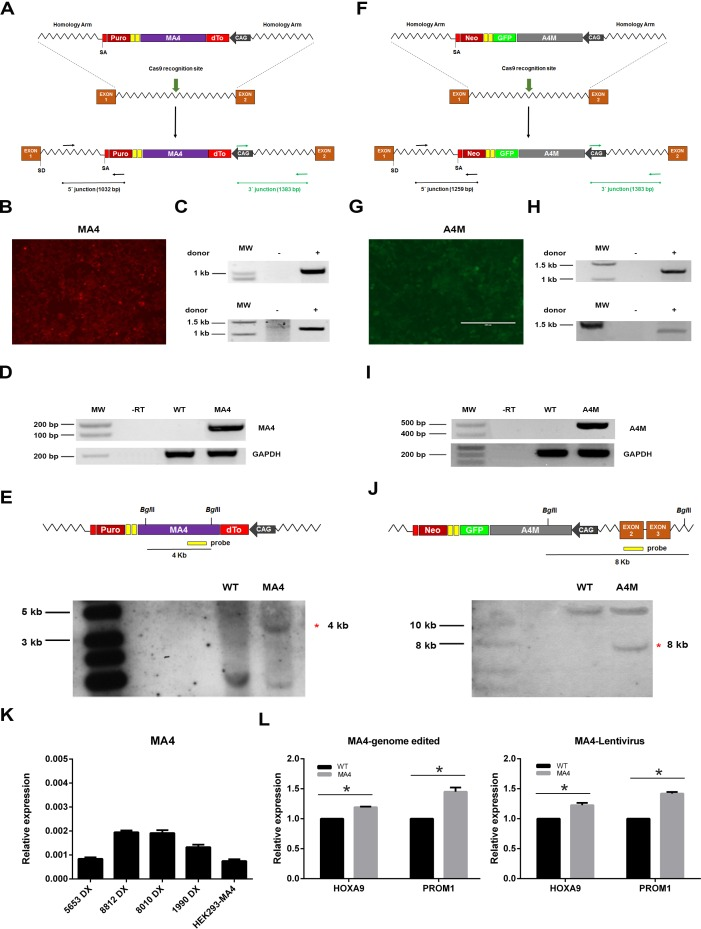 <t>CRISPR/Cas9-mediated</t> generation of syngeneic HEK293 cells expressing a unique copy of MA4 or A4M in the AAVS1 safe harbor A. , F. Schematic representation of the donor vector used for insertion of the dTo-MA4 A. or A4M-GFP F. cassette into the AAVS1 locus. dTo, dTomato fluorescent protein; SD, splice donor; SA, splice acceptor; CAG, CMV early enhancer/chicken β actin promoter. Black (5′; junction) and green (3′; junction) arrows depict genomic location of primers used to confirm targeted integration. B. , G. Representative images of dTo-MA4- and A4M-GFP-expressing HEK293 cells after puromycin or G418 selection, respectively. C. , H. Targeted integration analysis of MA4 and A4M into the AAVS1 locus by <t>PCR</t> using primers specific for the 5ʹ (top panels) and 3ʹ (bottom panels) integration junctions. D. , I. RNA expression of MA4 D. and A4M I. in antibiotic-selected cells. E. , J. Homologous recombination confirmed by southern blot analysis after BglII digestion of genomic DNA from puromycin/G418-resistant clones using a MA4 probe E. or an AAVS1 exon2 probe outside the targeting construct J. . A 4Kb band represents a targeted integration of MA4 in PPP1R12C. The 8kb band corresponds to the targeted integration of A4M in PPP1R12C. Untargeted allele gives a 12Kb band J. . L. qPCR of the MA4 targets HOXA9 and PROM1 is comparable between HEK293 cells ectopically expressing MA4 upon CRISPR/Cas9-mediated genome edition (left panel) or lentiviral transduction (right panel) * p
