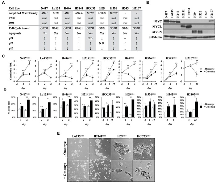 Omomyc induces growth suppression in SCLC cells A. Status of the MYC family genes, TP53 , and RB1 in SCLC cell lines used in this study. mut: mutated. Predominant type of the cell cycle arrest, occurrence of apoptosis and levels of p21, p27 and p16 after MYC inhibition by Omomyc are shown. B. Immunoblot analysis for the expression of MYC, MYCL or MYCN in SCLC cells. Media were changed 24 hr before collection of the cells. C. Growth curve of SCLC cells in the presence or absence of doxycycline (DX). Cumulative population doubling level (PDL) was calculated by adding the PDLs of the previous passages. Data are shown as the mean ± SD of four counts from a single representative experiment. P-values were calculated by unpaired two-tailed t-test. *p