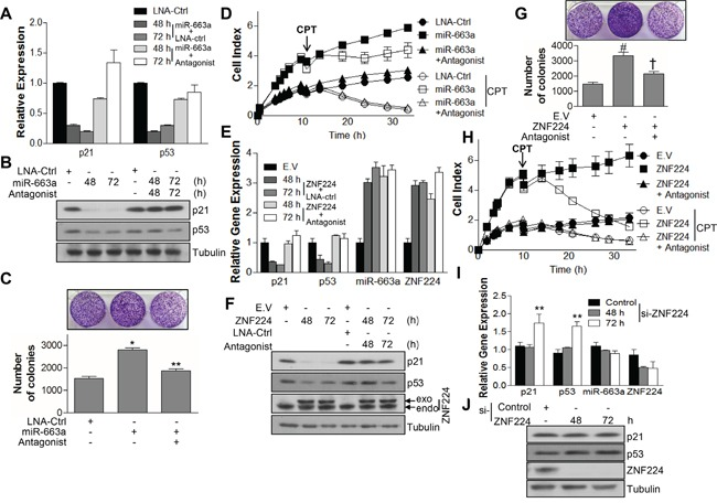 ZNF224 controls cell growth by regulating expressions of p21 and p53 via miR-663a A and B. MCF-7 cells were transfected with LNA-ctrl or miR-663a (20 nM) in the presence or absence of miR-663a antagonist (40 nM) as indicated. The expression of p21 and p53 was examined by qRT-PCR and immunoblot, respectively. GAPDH and tubulin were used as loading control in qRT-PCR and immunoblot, respectively. Data are from at least three independent experiments (n=3). C and D . In addition, colony forming ability was analyzed (*, vs. LNA-ctrl; **, vs. miR-663a) and subjected to iCelligence for the growth analysis in the presence or absence of CPT (0.1 μM). E and F. MCF-7 cells were transfected with FLAG-ZNF224 (2 μg) in the presence or absence of miR-663a antagonist (40 nM). The expression of p21, p53, miR-663a, and ZNF224 was examined by qRT-PCR and immunoblot, respectively. GAPDH and U6 RNA were used as loading control for mRNA and microRNA, respectively, in qRT-PCR, and tubulin was used as a loading control for immunoblot. Data are from at least three independent experiments (n=3). G and H . In addition, colony forming ability was analyzed (#, vs. EV; †, vs. ZNF224) and subjected to iCelligence for the growth analysis in the presence or absence of CPT (0.1 μM). I and J . MCF-7 cells were transfected with control or ZNF224 si-RNA (20 nM), and the expression of p21, p53, miR-663a, and ZNF224 was examined by qRT-PCR and immunoblot, respectively (**, vs. control si-RNA). GAPDH and U6 RNA were used as loading control for mRNA and microRNA, respectively, in qRT-PCR, and tubulin was used as a loading control for immunoblot. Data represent the mean ± SEM of three independent experiments. * P