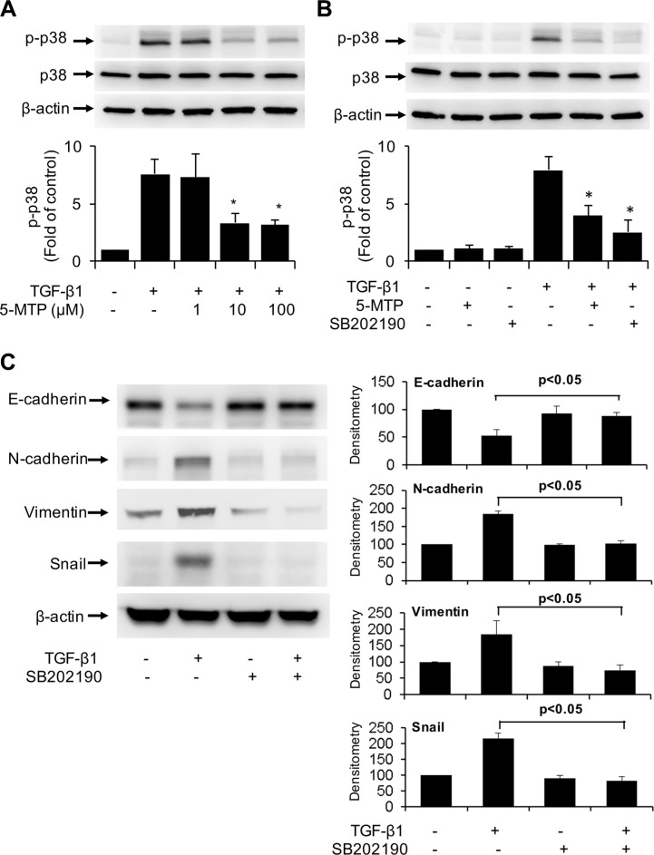 Inactivation of TGF-β1-induced p38 MAPK by 5-MTP ( A ) and ( B ) A549 cells were pretreated with 5-MTP at increasing concentrations ( A ) or 10 μM ( B ) or SB202190 (10 μM) for 30 min followed by TGF-β1 for 15 min. Cells were lysed and p-p38 MAPK (p-p38) and total p38 MAPK (p38) were analyzed by Western blotting. Upper panels show representative blots and lower panels the densitometry of p-p38 blots. Error bars denote mean ± SEM ( n = 3). * indicates P