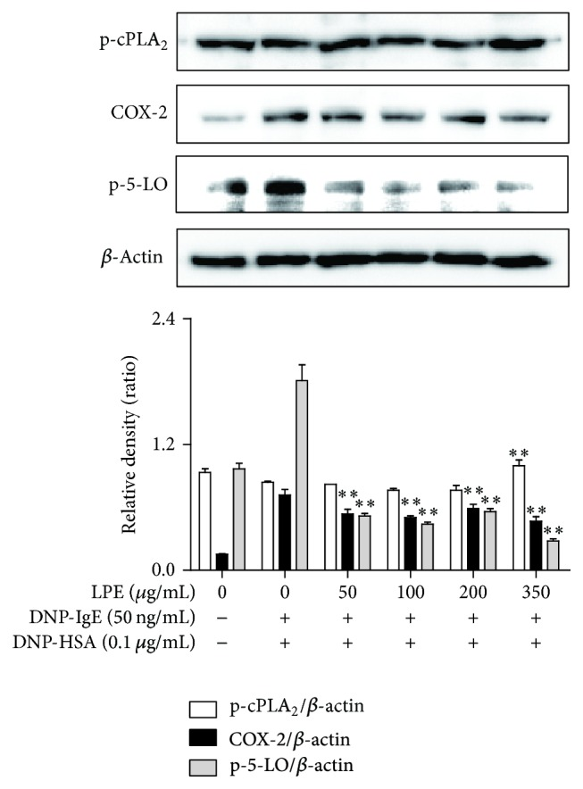 Effect of LPE on phosphorylation or expression of rate-limiting enzymes in the arachidonate cascade. RBL-2H3 cells were seeded on a 6-well plate (5 × 10 5 cells/well) in MEM- α with 10% FBS at 37°C overnight and further incubated with DNP-IgE for 24 h. IgE-sensitized RBL-2H3 cells were preincubated with LPE (0 to 350 μ g/mL) prior to antigen challenge. The above cells were washed with 1x DPBS and lysed with cell lysis buffer. The expression of p-cPLA 2 , p-5-LO, COX-2, or β -actin was determined as described in Section 2 . Similar results were obtained in three independent experiments. ∗∗ P