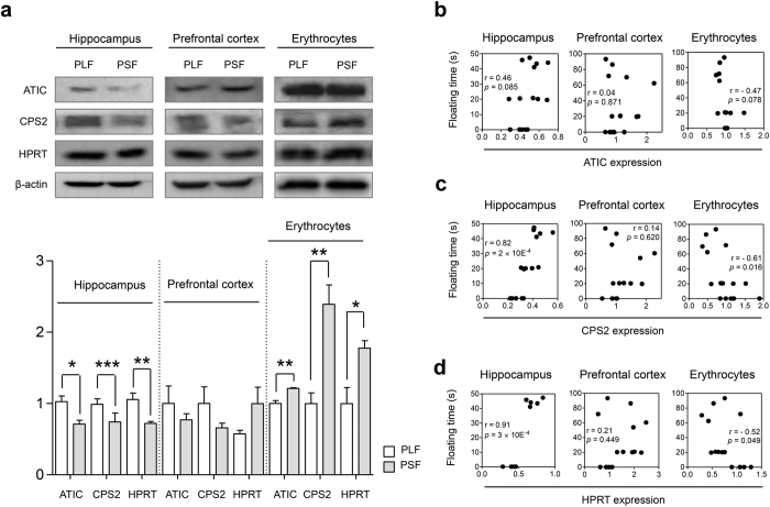 Chronic paroxetine treatment induces differential alteration of ATIC, CPS2 and HPRT protein expression in mice. ( a ) Western blot and densitometry analyses of CPS2 and HPRT protein levels in the hippocampus, prefrontal cortex and erythrocytes. The image represents cropped blots showing the relevant protein bands. All gels and blots were run under the same experimental conditions. Cropping lines are indicated in full-length blots of Supplementary Fig. S9 . Hippocampal and erythrocytic ATIC, CPS2 and HPRT proteins showed significant expression level differences between the PLF and PSF groups, n = 5/group. ( b ) ATIC protein level showed moderate correlation with FST floating time. Correlation of ( c ) CPS2 and ( d ) HPRT protein levels with FST floating time was significant in the hippocampus and erythrocytes, n = 15. The cropped blots were used for the Fig. 4a. The gels have been run under the same experimental conditions. Protein expression levels were normalized with β-actin. Data are expressed as the mean ± SEM. * p
