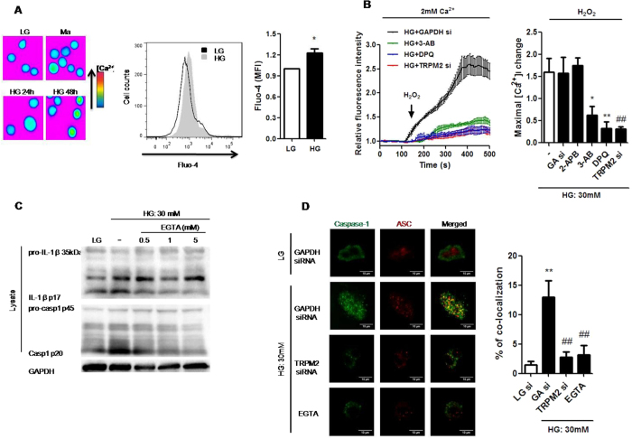 Ca 2+ influx via TRPM2 was required for HG-induced NLRP3 inflammasome activation in U937 cells. ( A ) Fluorescence images showing fluo-4-loaded cells taken at indicated timepoints, and representative flow cytometric plot and graph showing relative median fluorescence intensity (MFI) of intracellular Ca 2+ concentration by Fluo-4 staining under low glucose (LG; 5.5 mM glucose;) or high glucose (HG; 30 mM glucose) (n = 5). ( B ) Relative changes in [Ca 2+ ] i , evoked by H 2 O 2 (1 mM) over the time course. The cells were treated in the presence of <t>2-aminoethoxydiphenyl</t> borate (2-APB; 100 μM), or with pre-treatment of 3-aminobenzamide (3-AB; 5 mM) or 3,4-dihydro-5-[4-(1-piperidinyl)butoxy]-1(2H)-isoquinolinone (DPQ; 100 μM), or GAPDH- (GA si) or TRPM2-siRNAs (TRPM2 si) under HG (n = 4). ( C ) Representative immunoblots for pro-IL-1β, IL-1β p17, pro-caspase-1, cleaved caspase-1 (p20), and GAPDH in the presence of <t>EGTA-AM</t> (0.5, 1, 5 mM) under HG (n = 4). ( D ) Immunofluorescence images showing the location of caspase-1 and ASC in fixed cells using confocal microscopy in the presence of GAPDH- or TRPM2-siRNAs, or EGTA-AM (5 mM) under HG. The percentage of co-localization of caspase-1 with ASC was calculated as the average volume of the overlapping areas (n = 4). Data were shown as mean ± S.E.M. ( A ) *P