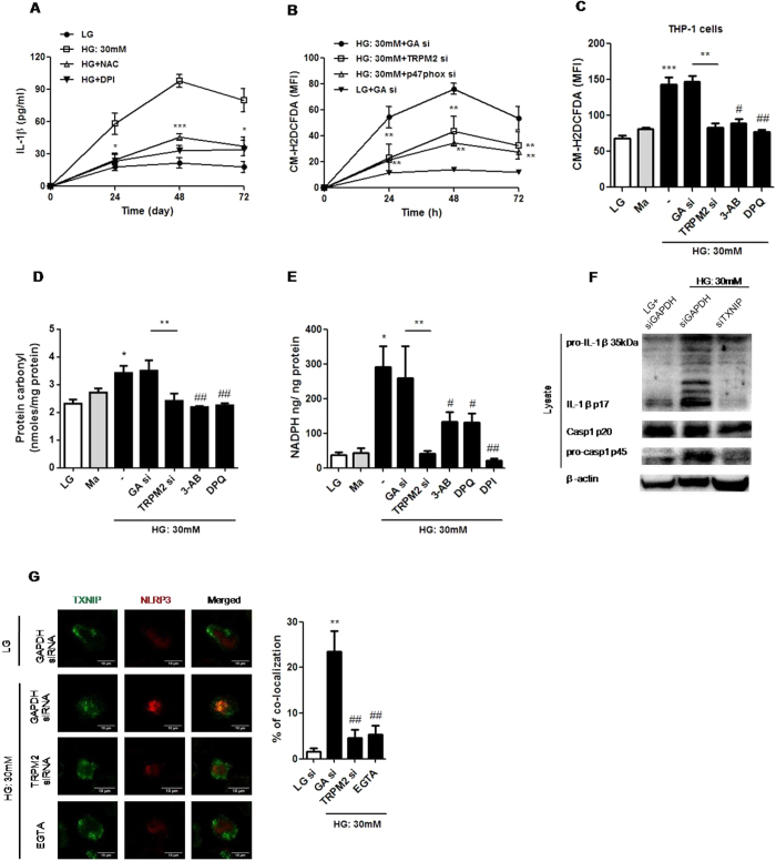 TRPM2 regulated HG-induced ROS production and NADPH oxidase activation, which linked TXNIP to NLRP3 inflammasome activation in human monocytic cell lines. ( A ) ELISA for IL-1β secretion from the supernatants of treated cells. ( B,C ) The ROS production was measured by CM-F2DCFDA staining. ( D ) The level of protein carbonyl content was measured by protein carbonyl content assay. ( E ) The cellular NADPH level was measured by NADP/NADPH assay, and NADPH oxidase activity was normalized to total cellular protein levels. ( A,B ) U937 cells were stimulated with low glucose (LG; 5.5 mM glucose) or high glucose (HG; 30 mM glucose for 24, 48, 72 h) ( A ) with pre-treatment of N-acetyl-L-cysteine (NAC; 25 mM) or diphenyleneiodonium chloride (DPI; 10 μM), or ( B ) in the presence of GAPDH- (GA si), p47 phox- or TRPM2-siRNA (n = 6–7). ( C–E ) The cells were pre-treated with 3-aminobenzamide (3-AB; 5 mM), 3,4-dihydro-5-[4-(1-piperidinyl)butoxy]-1(2H)-isoquinolinone (DPQ; 100 μM), DPI (10 μM), GAPDH- or TRPM2-siRNA under LG, mannitol (Ma; 30 mM) or HG conditions in ( C ) THP-1 cells or ( D,E ) U937 cells (n = 5–6). ( F ) Representative immunoblots for pro-IL-1β, IL-1β p17, pro-caspase-1, cleaved caspase-1 (p20), and β-actin in the presence of GADPH- or TXNIP-siRNA under HG in U937 cells (n = 5). ( G ) Immunofluorescence images showing the location of the TXNIP and NLRP3 in fixed cells by using confocal microscopy, in the presence of GAPDH- or TRPM2-siRNA, or EGTA-AM (5 mM) under HG in U937 cells (n = 4). The percentage of TXNIP co-localization with NLRP3 inflammasome was calculated as the average volume of the overlapping areas. Data were shown as mean ± S.E.M. ( A ) *P