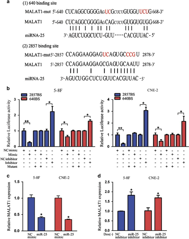 miR-25 reduced the MALAT1 level. ( a ) Schematic constructions of the wild type and mutant pMIR-REPORT-MALAT1 miRNA expression vectors used in luciferase reporter assays. The five altered nucleotides in the mutant binding site are colored in red. ( b ) The relative luciferase activities in the 5-8 F and CNE-2 cells after transfection with the pMIR-REPORT-MALAT1 reporter and miR-25 mimic, NC mimic, miR-25 inhibitor or NC inhibitor. ( c ) QRT-PCR analysis of MALAT1 expression in 5-8 F and CNE-2 cells that were transfected with miR-25 mimic (50 nM) or NC mimic. ( d ) QRT-PCR analysis of MALAT1 expression in 5-8 F and CNE-2 Tet-Off-inducible RBM24-stable cells that were transfected with miR-25 inhibitor (100 nM) or NC inhibitor after the removal of doxycycline for 24 h. All data are shown as the mean±S.E.M. of three independent experiments (* P