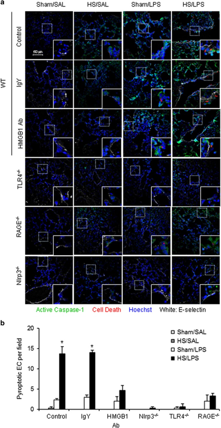 HS primes for lung endothelial cell pyroptosis in response to LPS through HMGB1-RAGE signaling. ( a ) WT (C57BL/6) mice, TLR4 −/− mice, RAGE −/− mice, and Nlrp3 −/− mice were subjected to HS (HS) or sham operation (Sham) followed by LPS or saline (SAL) i.t. at 2 h after resuscitation ( n =6 per group). Some WT mice received anti-HMGB1 Ab (2 mg/kg BW) by i.p. injection 30 min before HS or sham operation ( n =6 per group). Lung tissue were harvested 24 h after LPS or SAL i.t. and the histological slides were stained with Cell Death Reagent-TMR (red), Alexa Fluor 488-labeled caspase-1 FLICA (green), E-selectin (white), and Hoechst (blue). Fluorescent images were obtained by confocal microscopy (original magnification × 600, higher magnification images for the selected area are shown in the respective lower right insets). Quadruple-stained cells were considered positive for pyroptotic EC. ( b ) The average number of pyroptotic EC of five random fields was counted for analysis. Data are presented as mean and S.E.M. * P