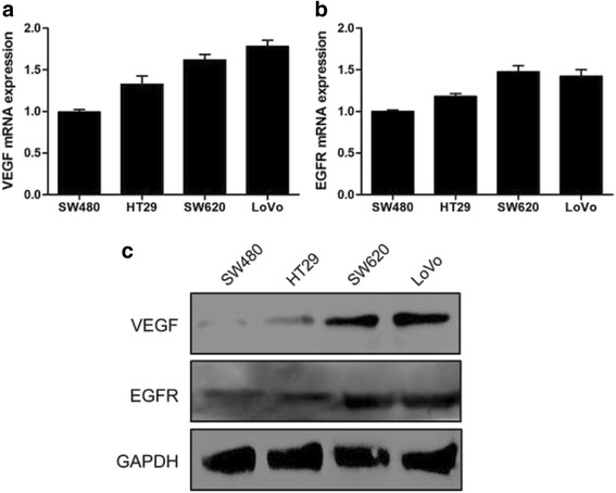 Expression of VEGF and EGFR in CRC cell lines. a Expression of VEGF in four human CRC cell lines was detected by qRT-PCR. b Expression of EGFR in four human CRC cell lines was detected by qRT-PCR. c Western blot analysis of VEGF and EGFR expression in different CRC cell lines