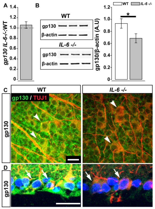 IL-6 deficiency leads to decreased gp130 protein in the retina. ( A ) Fold difference of Gp130 mRNA in the IL-6−/− retina normalized to WT Gp130 mRNA (dotted line) via the ΔΔCt method. ( B ) Densitometry analysis (right) of gp130 and β-actin immunoblotting (left) in WT (white) and IL-6−/− (gray) retina.; student's t-test. Error bars indicates STDEV. ( C–D ) Whole mount ( C ) and sagittal cross sections ( D ) of WT (left) and IL-6−/− (right) retina reveal co-localization (arrowheads; C and arrows; D) of gp130 immunolabeling (green) with β-Tubulin+ RGCs. Error bars represent standard deviation and asterisks indicate p