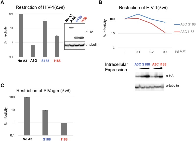 APOBEC3C SNP Isoleucine 188 confers increased antiviral activity. (A) Infectivity of HIV-1 Δ vif in the absence of APOBEC3 (No A3), APOBEC3G (A3G), APOBEC3C S188 (A3C S188) and APOBEC3C I188 (A3C I188). 0.3μg of HA-tagged APOBEC3 was expressed in virus-producing cells, and viruses were collected and use for infection. Infectivity in the absence of APOBEC3 is set to 100%. Error bars indicate the standard deviation of triplicate transfections and infections, and this experiment was repeated four times with similar results. Intracellular expression of APOBEC3 was measured by Western Blot using an anti-HA antibody. A section of the blot was probed with an anti-tubulin antibody as a loading control. (B) Dose-response analysis showing restriction of HIVΔ vif in the presence of two-fold dilutions of transfected APOBEC3C S188, or APOBEC3C plasmids I188 along with Western blot analysis of APOBEC3C S188, and APOBEC3C I188 protein expression during virus production. This experiment was performed three times, and a representative result is shown. (C) Infectivity of Simian Immunodeficiency virus SIVagmΔ vif , in the presence of APOBEC3C S188, APOBEC3C I188. Infectivity is set to 100% for infection with No APOBEC3 present. Error bars indicate the standard deviation of three independent experiments.